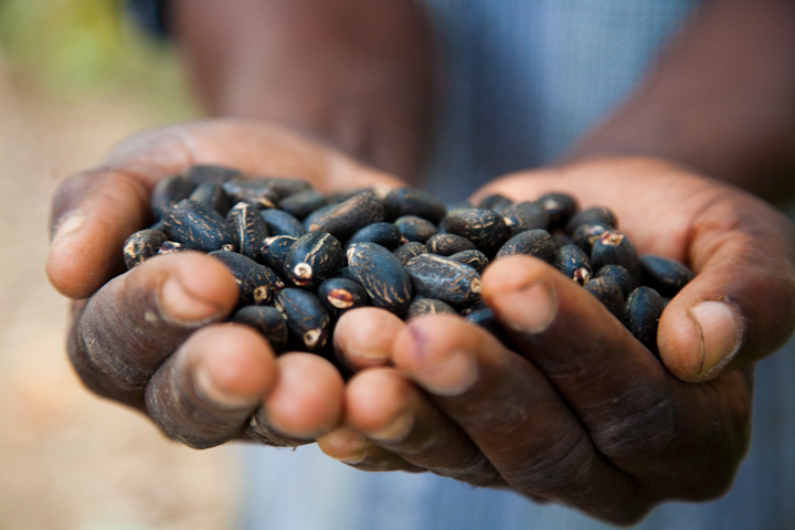 Handful of Jatropha Seeds